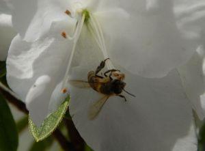 ミツバチさん