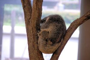赤ちゃんを抱いたコアラ