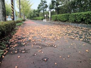 並木「ジャスコ」前の歩道に落ちたギンナン