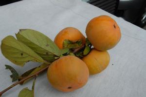 柿の実、一つの目方は約200g