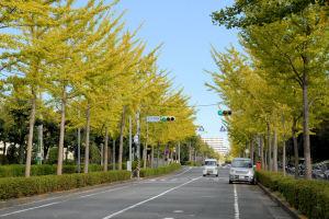シーサイドライン並木中央駅前の銀杏並木