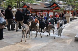 厳島神社のシカ