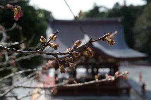 石段の途中にある桜も咲き始めています