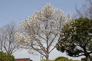 こぶしの木