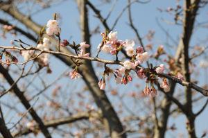 庭園内の桜