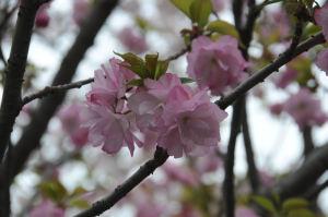 公園の八重桜も満開