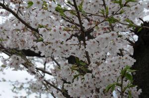桜もようやく満開