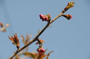 八重桜はこれから