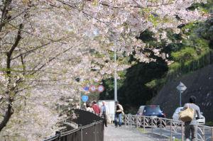 桜も散り始めていました