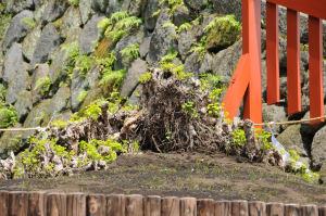 残った根からも小さな銀杏の枝