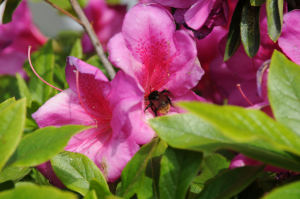 つつじの花にハチが飛んできました