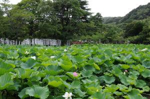 源平池の蓮は葉が大きく花が見えません
