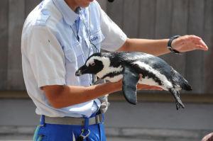 ペンギンに触れるイベント