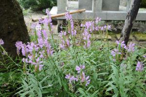 この花は「ハナトラノオ」