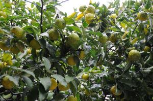 柚子の木も鈴なりの実に雨が