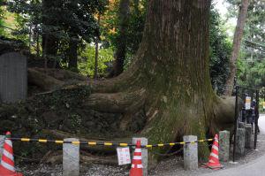 高尾山の名物「たこ杉」