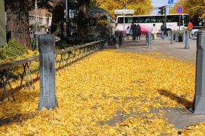 日本大通り・銀杏並木