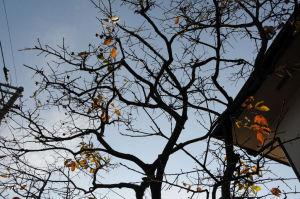 柿の葉もほとんど飛んでしまいました