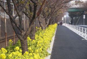 菜の花も咲き河津桜と一緒に楽しめます