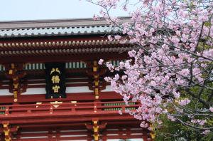 大石段上の桜