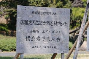 「国指定天然記念物・石割り桜の子」