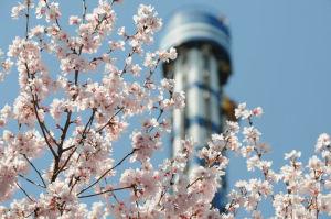 ブルーフォール前の桜は満開