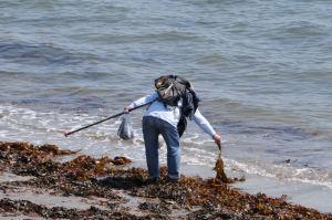 海藻を集めているのでしょうか、