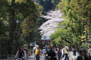 流鏑馬が駆け抜ける道にある桜は満開
