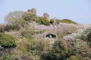 湘南鷹取山の桜