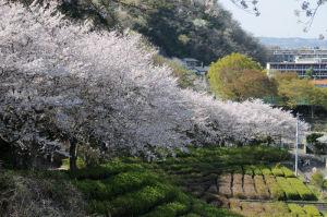 桜並木が約300mほど続いています