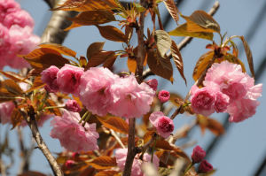 八重桜もほぼ満開