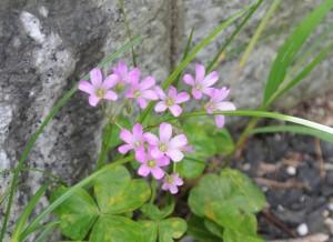 「かたばみ」の小さな花