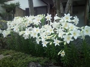たくさんのユリの花