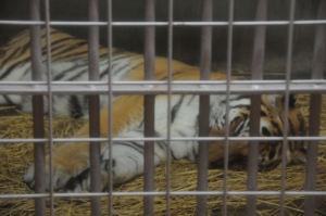 トラはオリの中で寝ていました