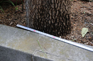 幹は直径25cmほどでした