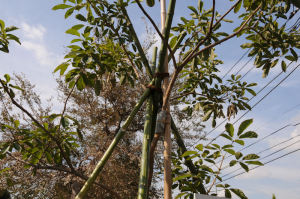 新しい竹で組まれています