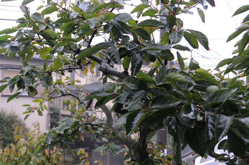 今年の柿は終わり