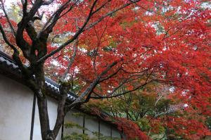二尊院の紅葉