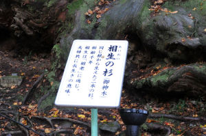 樹齢1000年の大杉