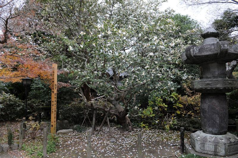 市指定天然記念物「山茶花」