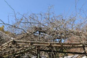 樹齢200年と言われるカイドウ