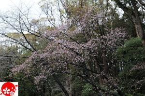 早咲きの桜が咲き始めていました