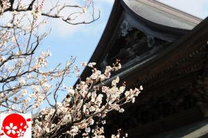法堂前の梅はほぼ満開