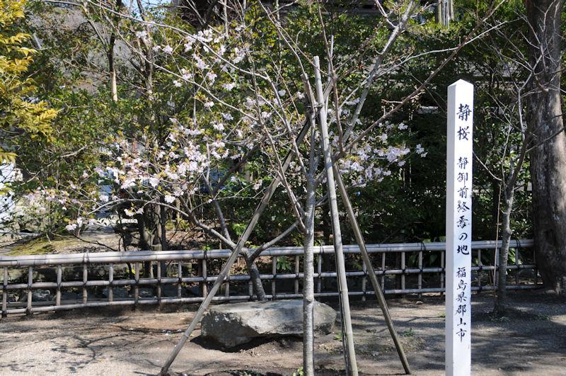 鶴岡八幡宮の『静桜』