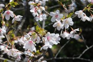 桜の花びらは白に近い色