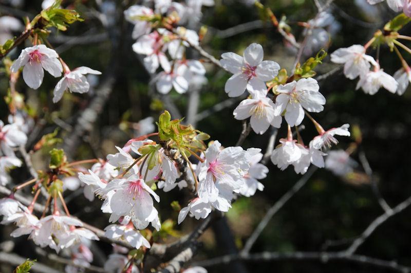 桜の花びらは白に近い色です