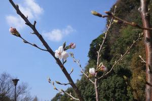 小柴緑道脇『弘前城の桜』