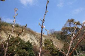 小さい桜の木ですが