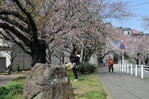 富岡総合公園の桜も満開
