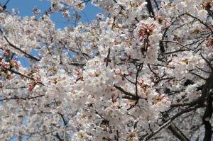 歩道橋上から撮った桜